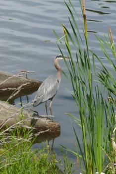 Lake Union Wildlife