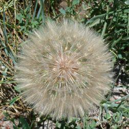 Beautiful 'weed'