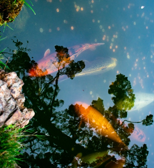 Golden Gate Park and Gold Fish with Tree Reflections!